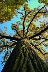 oak with yellow leafes under blue sky